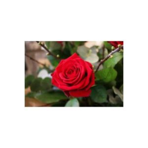A Single Red Rose wrapped Luxuriously with Foliage and water